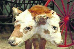 У Грузії народилося теля з двома головами, 4 очима і 3 вухами