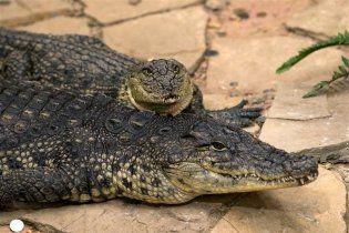 У Дніпропетровську рятують від стресу крокодила Гену - він проковтнув телефон