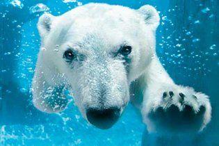 Біла ведмедиця пливла 9 днів без упину в пошуках крижини