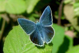 Біологи підтвердили невизнану гіпотезу Набокова про метеликів