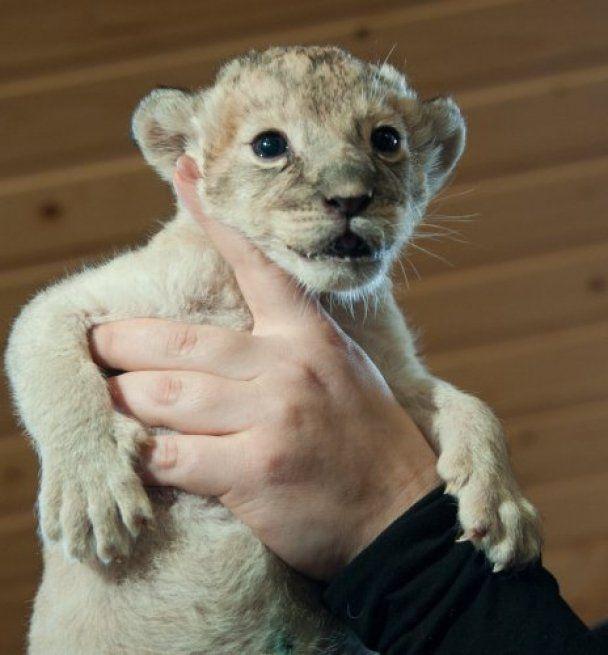 У бердянському зоопарку народилося троє левенят