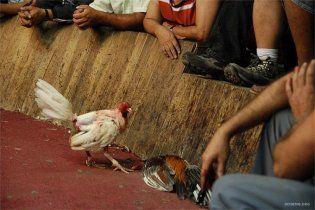 У Каліфорнії розлючений птах вбив глядача півнячих боїв