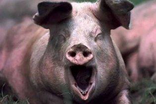 Учені оголосили про знищення на Землі свинячої чуми