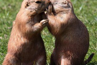 У зоопарку США лугові собачки заманюють відвідувачів поцілунками
