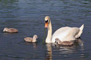 Під Одесою багатодітна родина з'їла зграю лебедів