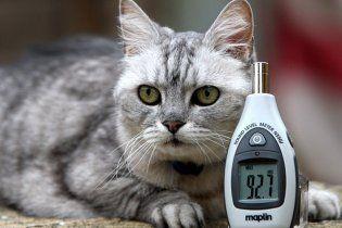 Британський кіт муркоче голосніше, ніж літак Боїнг