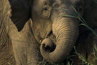 Горбаль та Омельченко куплять слонів за мільйон