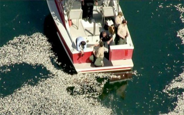 Мільйони дохлих риб спливли біля Лос-Анджелеса
