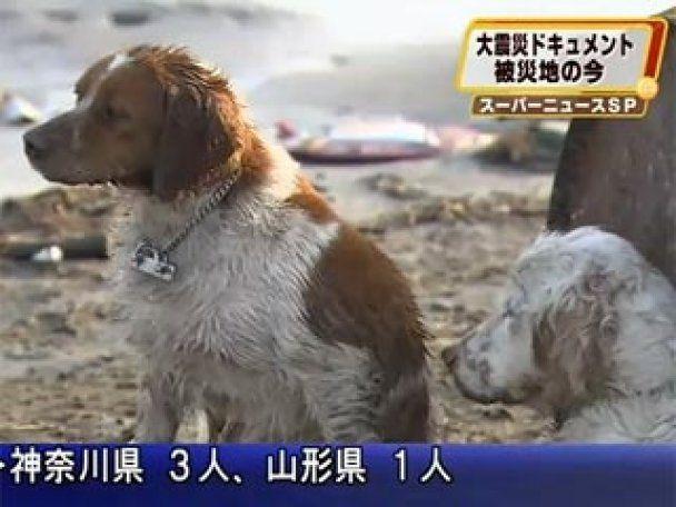 В Японии собаки демонстрируют бесконечную верность, спасая своих собратьев (видео)