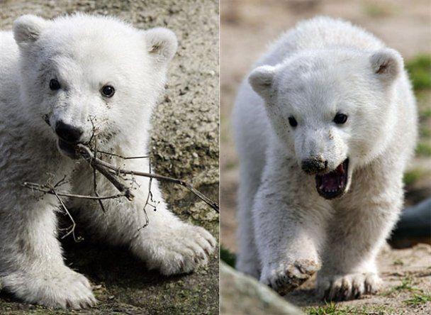 В Берліні помер найвідоміший у світі ведмідь Кнут