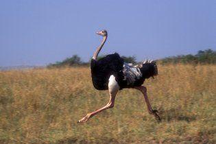 Украденный страус вырвался от воров и вернулся к хозяину
