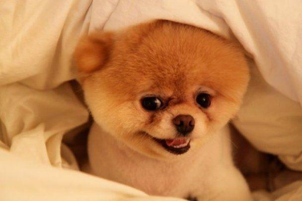 Собачка Бу стала звездой Интернета: у нее почти миллион друзей