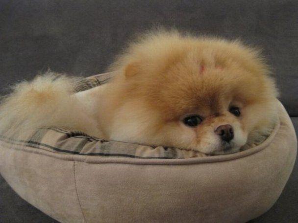 Собачка Бу стала зіркою Інтернету: у неї майже мільйон друзів