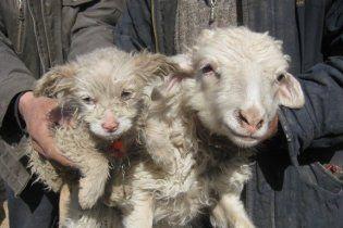 Китайская овца родила щенка