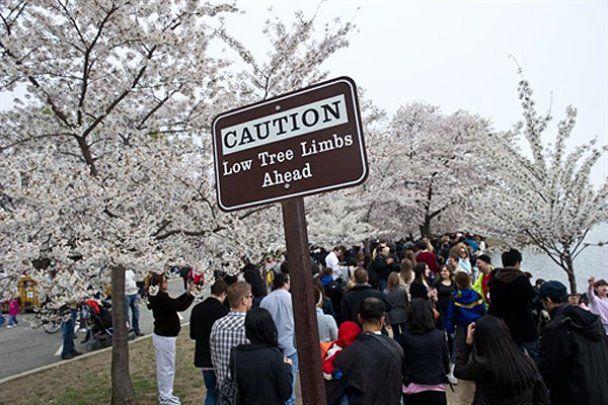 Свято цвітіння вишень в Японії та США