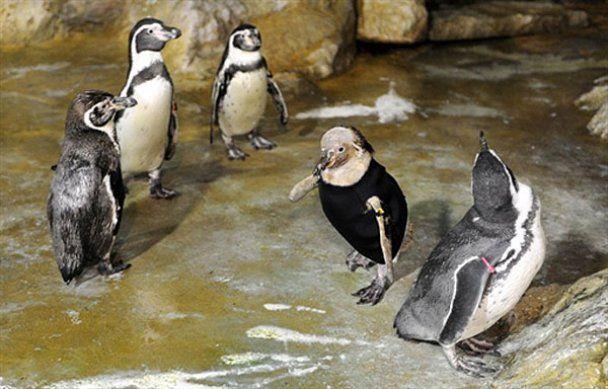 В Сингапуре живет пингвин в гидрокостюме