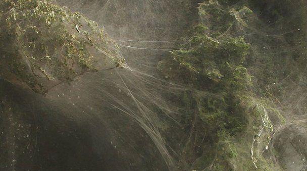 Нашестя павуків на дерева у Пакистані