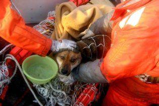 Эвакуированные японцы бросили на произвол судьбы своих животных в Фукусиме (видео)