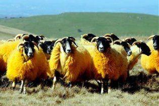 Англійський фермер пофарбував овець в помаранчевий колір