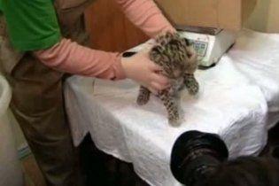 У зоопарку Петербурга на світ з'явилися дитинчата ягуара