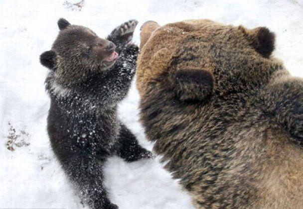 Фотографи знайшли у зоопарку ідеального ведмедя-татуся