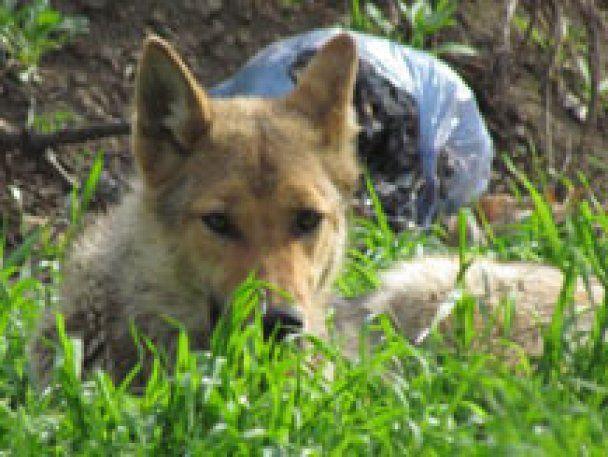Маріуполь тероризують вовки, комунальні служби і мисливці безсилі