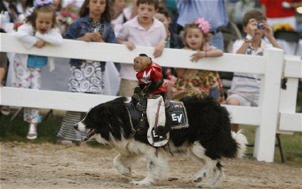 Чемпион по родео научил четырех обезьянок ездить верхом на собаках