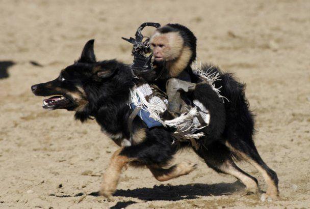 Американец научил обезьянок ездить верхом на собаках