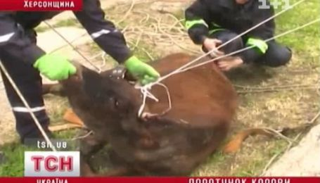 Порятунок корови