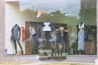 В Бразилии бык спрятался от преследователей в магазине одежды (видео)