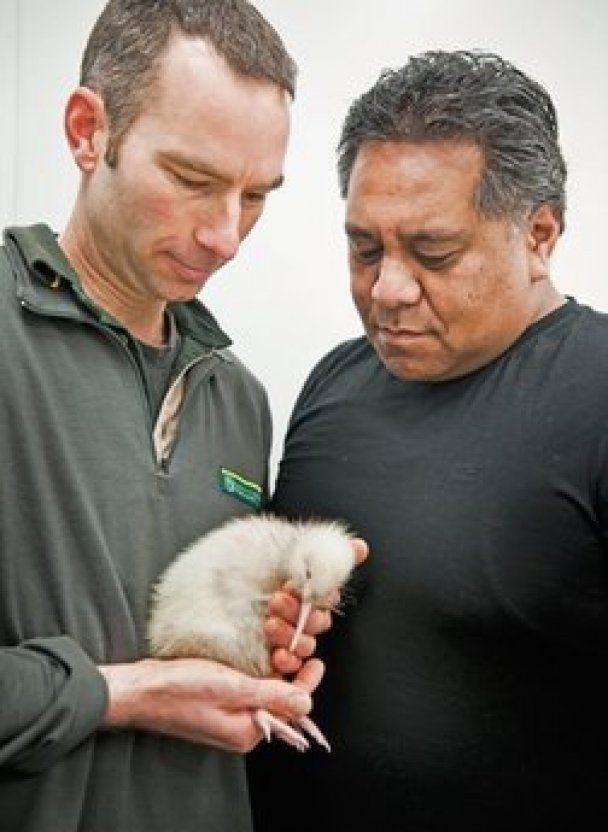 У Новій Зеландії народився рідкісний ківі білого кольору
