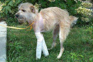 Віднесений торнадо пес через 20 днів на зламаних лапах повернувся додому