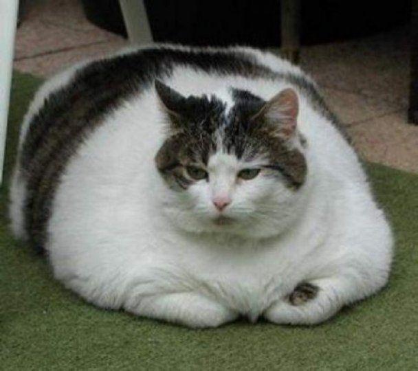 В США устроили распродажу толстых котов