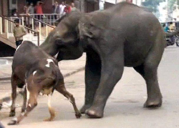 Дикі слони влаштували погром в індійському місті