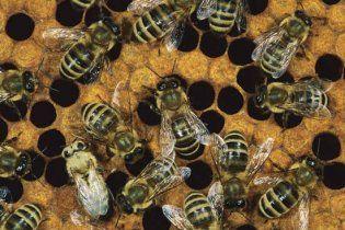 На Черниговщине рой пчел насмерть закусал 56-летнего мужчину