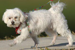 Померла найбагатша собака світу - болонка зі статком у 12 млрд доларів