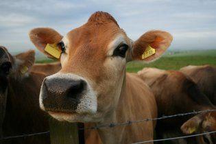 Народилася перша у світі трансгенна корова, яка дає жіноче молоко