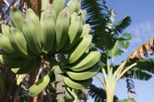 Генетический вирус уничтожает плантации бананов во всем мире