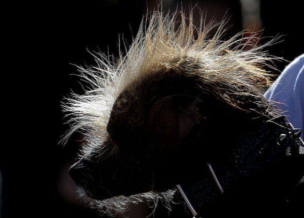 Найпотворнішим собакою в світі обрали метиса Йоду
