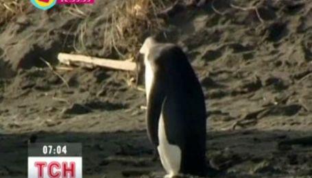 Врятований пінгвін одужує
