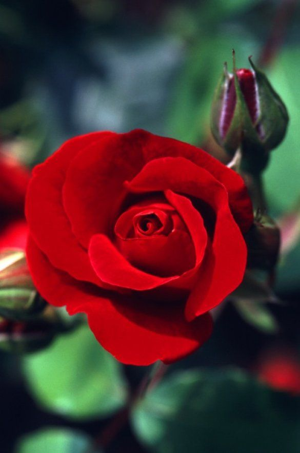 Розы_4