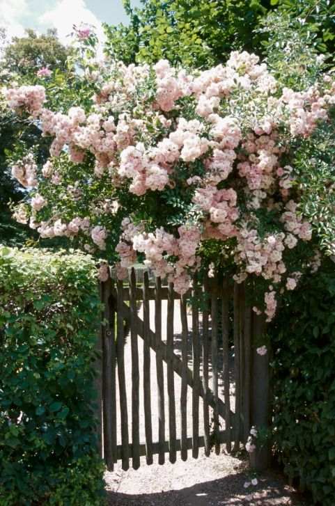 Розы_7