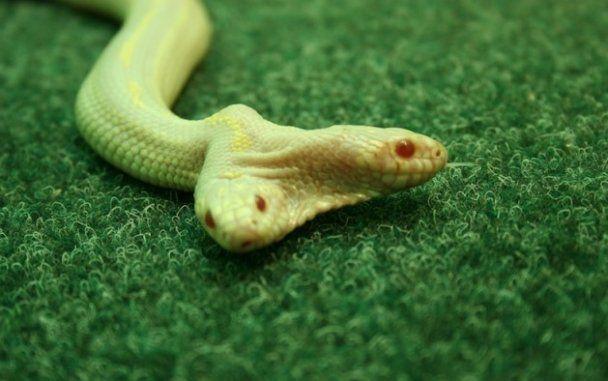 В ялтинском зоопарке появилась двуглавая змея