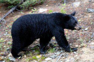 Американец на велосипеде врезался в 135-килограммового медведя
