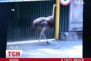 Вулицями Києва розгулював страус