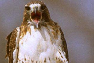 Хищная птица пыталась похитить толстого домашнего кота