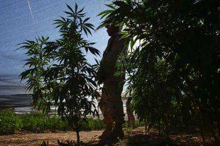 В Нидерландах марихуану приравняли к героину