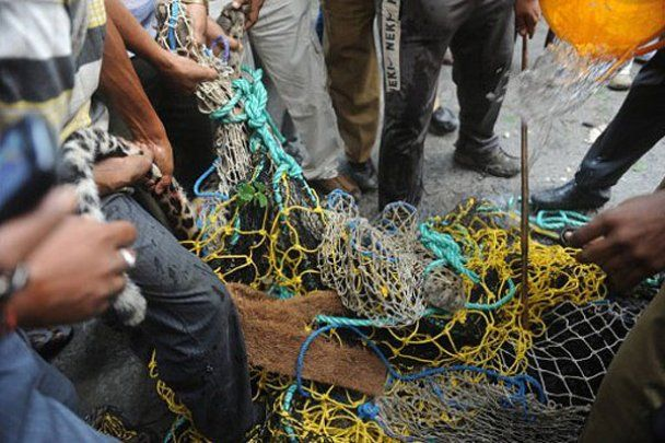 Дикий леопард порвав шістьох лісників в Індії