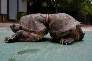 """В Тихом океане нашли черепаху с """"осиной талией"""""""