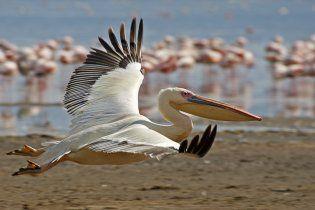 До Криму прилетіли рожеві пелікани